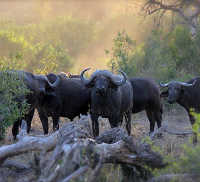Janala Tours and Safaris - Chobe buffalos
