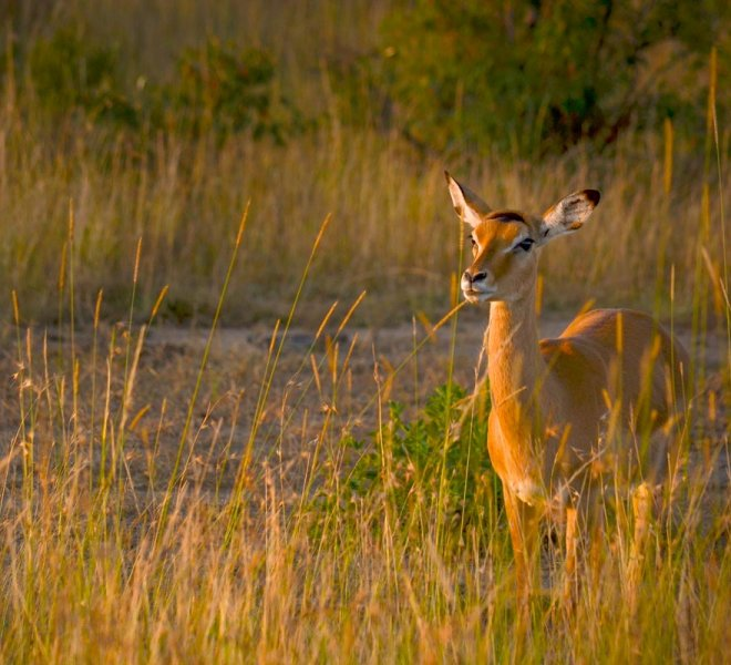 Janala Tours and Safaris - Chobe impala