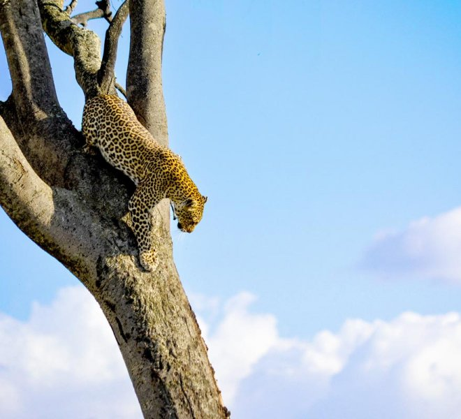 Janala Tours and Safaris - Chobe leopard