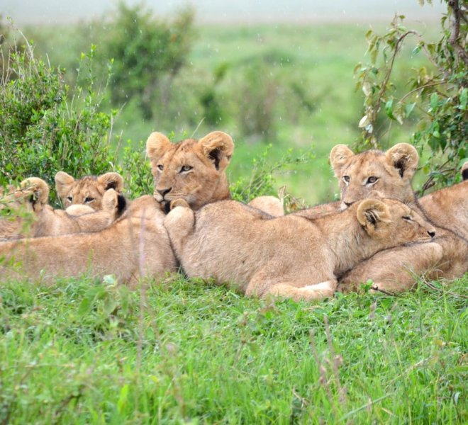 Janala Tours and Safaris - Chobe lions